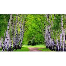 Birch Tree Seeds (Betula) 1.95 - 8