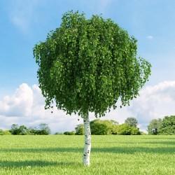 Sementes de Bétula (Betula) 1.95 - 9