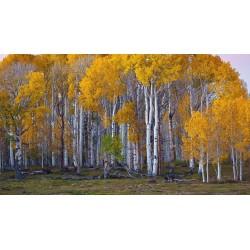 Sementes de Bétula (Betula) 1.95 - 5