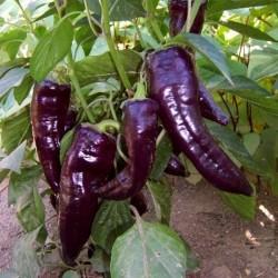 Sementes Pimenta Doce Roxo MARCONI PURPLE 1.65 - 2