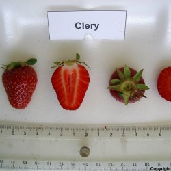 CLERY Strawberry Seeds 2 - 3