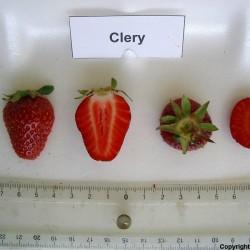 Sementes de Morango CLERY 2 - 3