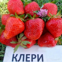Erdbeersorte CLERY Samen - frühe sorte 2 - 4