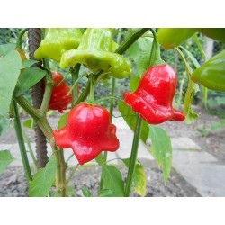 Chili Seeds Bishop's Crown or Christmas Bell