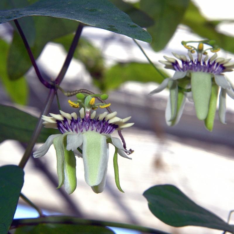 Semi Di Pianta Tropicale Passiflora (Passiflora colinvauxii) 1.85 - 1