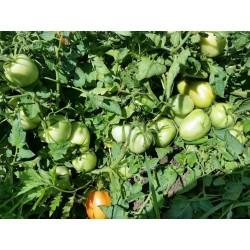 Sementes de Tomate Alparac - Variedade da Sérvia 1.95 - 3
