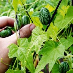 Sementes de Cucamelon Micro Pepino 1.85 - 2