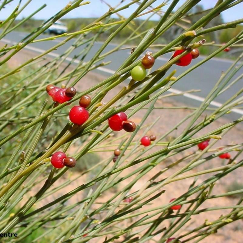 Placuca Tresnja Seme - Weeping Cherry 2 - 1