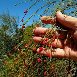 Sementes de Exocarpus sparteus 2 - 2