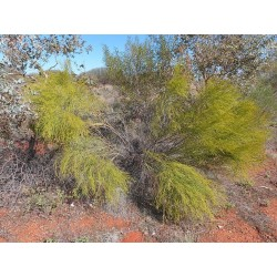 Sementes de Exocarpus sparteus 2 - 4