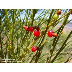Sementes de Exocarpus sparteus 2 - 6