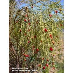 Sementes de Exocarpus sparteus 2 - 7