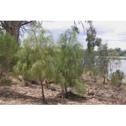 Sementes de Exocarpus sparteus 2 - 10