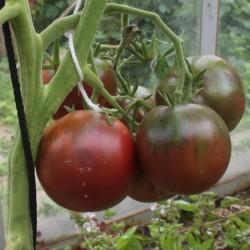 Graines de Tomate Gypsy 1.65 - 1
