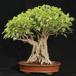 Sementes de Figueira-Religiosa (Ficus religiosa) 2.45 - 1