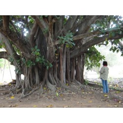 Sacred Fig Seeds (Ficus religiosa) 2.45 - 4