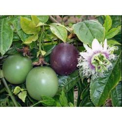 Semi di Passiflora Edulis 3 - 4