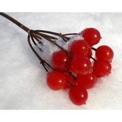 Σπόροι American Cranberry θάμνων (Viburnum trilobum)