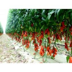 Sementes de Tomate Napoli 1.85 - 3
