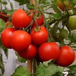 Sementes de Tomate Cereja Vermelho 1.95 - 2