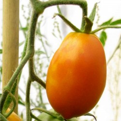 Orange Banana Tomato Seeds 1.85 - 2