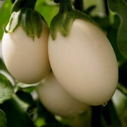 Eggplant Golden Eggs Seeds (Solanum melongena) 1.85 - 2