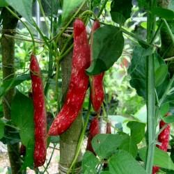 Borlotto Lingua Di Fuoco Nano Bean Seeds (Bush) 2.25 - 2
