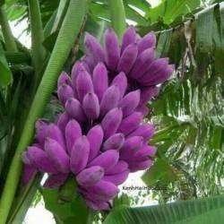 Sementes de banana azul da Birmânia (Musa itinerans) 3.05 - 1