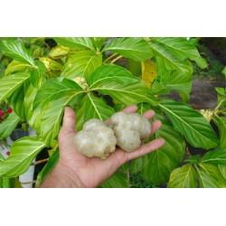 Sementes de Noni (Morinda citrifolia, Rubiaceae) 1.95 - 5