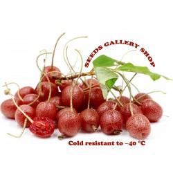 Japanese Silverberry - Autumn Olive Seeds (Elaeagnus umbellata) 2.45 - 1