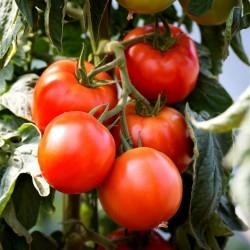 Semillas de Tomate Saint Pierre 1.5 - 2