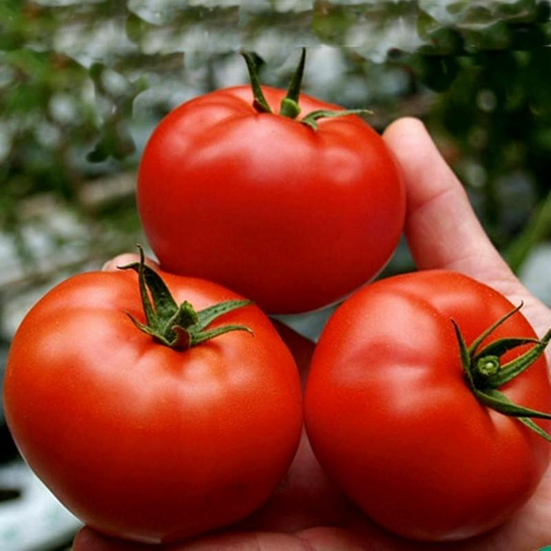 Sementes de tomate Saint Pierre 1.5 - 1