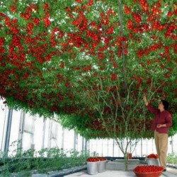 Rari Semi di albero di pomodoro italiano gigante 5 - 2