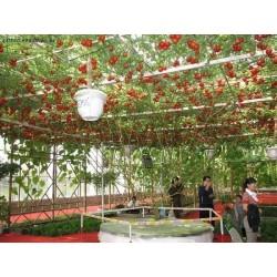 Giant Italian Tree Tomato seeds 5 - 3