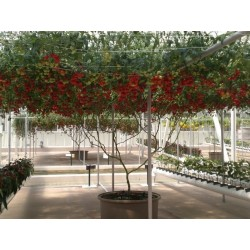 Giant Italian Tree Tomato seeds 5 - 4