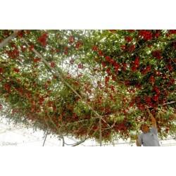 Sementes Gigantes Italiano Árvore de Tomate 5 - 5