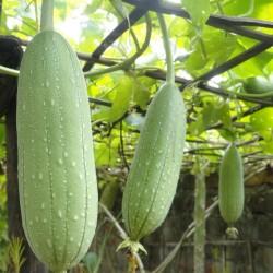 Gourd Seeds Luffa Sponge (Luffa aegyptiaca) 2.15 - 2