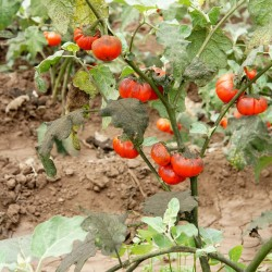 Turkish Orange Eggplant Seeds (Solanum aethiopicum) 1.95 - 8