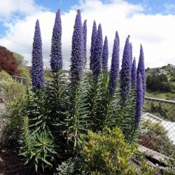 Plavi Toranj Dragulja Seme (Echium pininana) 2.5 - 1