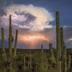 Saguaro Kakteensamen (Carnegiea gigantea) 1.8 - 2
