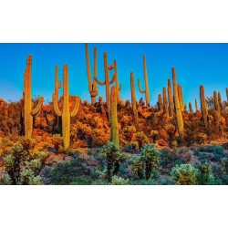 Semi di Saguaro Cactus (Carnegiea gigantea) 1.8 - 5