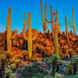 Semi di Saguaro Cactus (Carnegiea gigantea) 1.8 - 1
