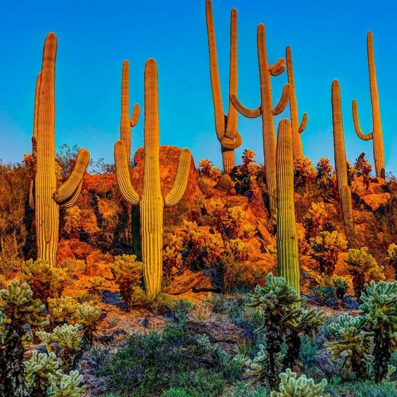 Sementes de Saguaro Cactus (Carnegiea gigantea) 1.8 - 1