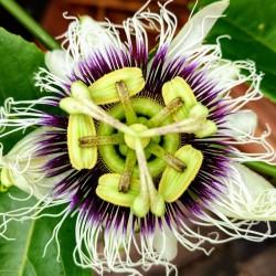 Yellow Passion Fruit Seeds (Passiflora Flavicarpa) 1.95 - 2