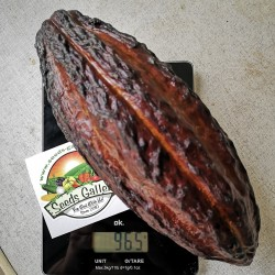 Graines de Cacaoyer - Cacao (Theobroma cacao) 4 - 2