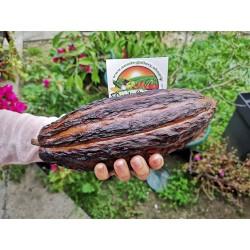 Graines de Cacaoyer - Cacao (Theobroma cacao) 4 - 6