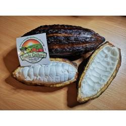 Σπόροι Κακάο (Theobroma cacao) 4 - 3
