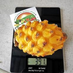 Pitaya, Pitahaya, Dragon Fruit Yellow Seeds 2.5 - 2