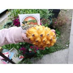 Sementes de Fruta do dragão amarelo 2.5 - 4