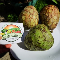 Cherimoya, Zucker Apfel Samen (Annona cherimola) 1.95 - 2